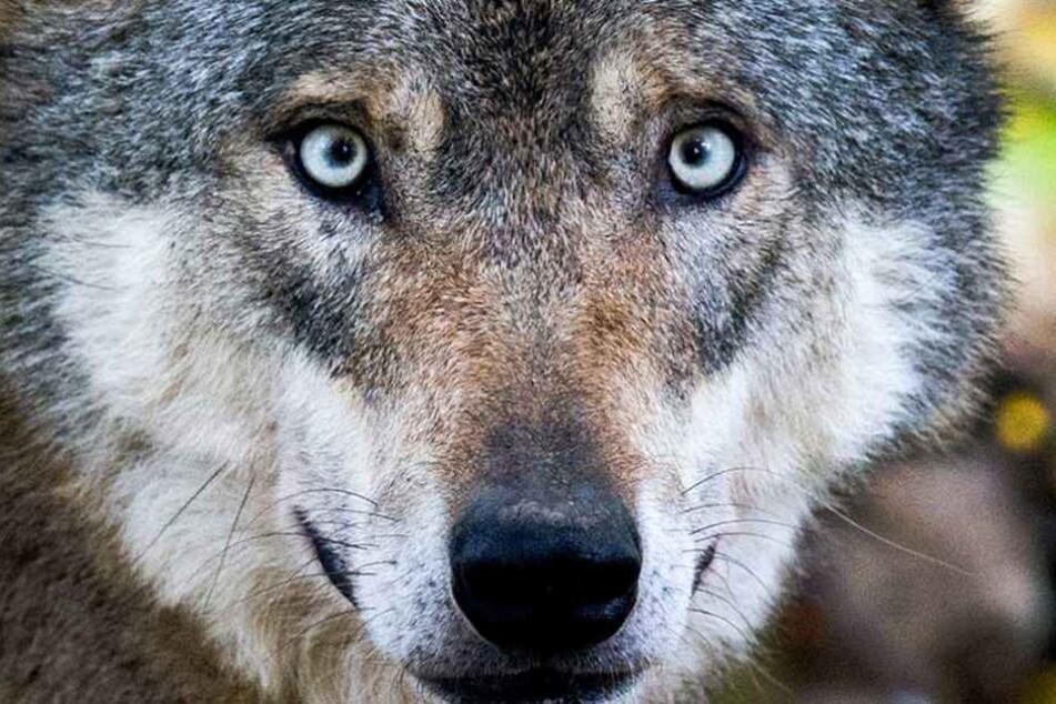 In Brandenburg wurde eine Wölfin von einer Jagdgesellschaft erschossen (Symbolbild).
