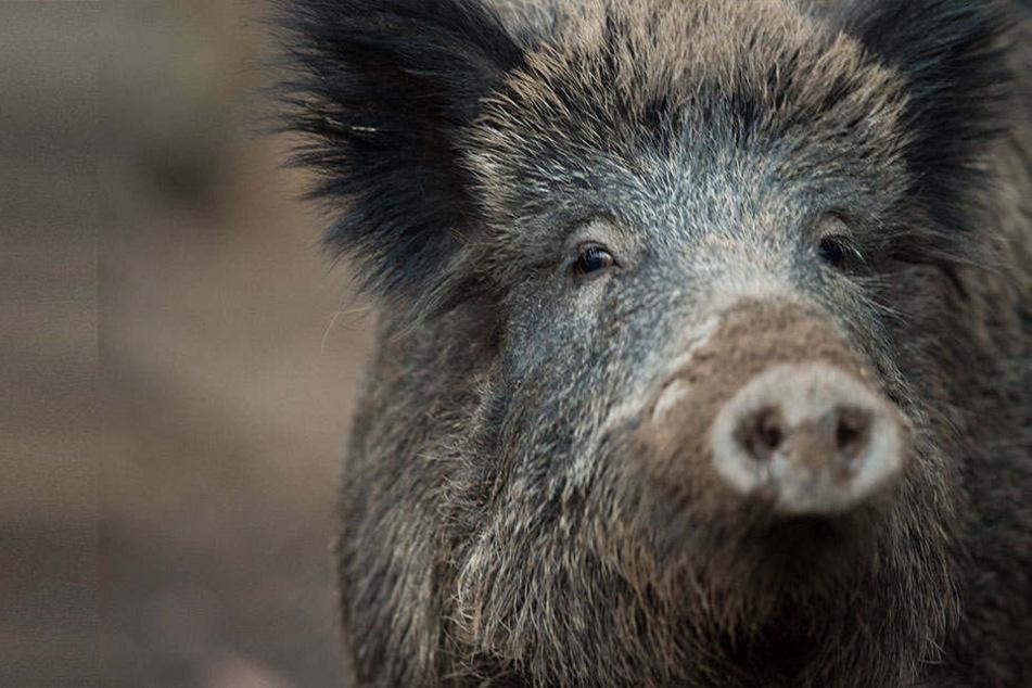 Die Afrikanische Schweinepest breitet sich gerade in Europa aus. Deshalb dürfen Wildschweine in NRW schon jetzt geschossen werden.