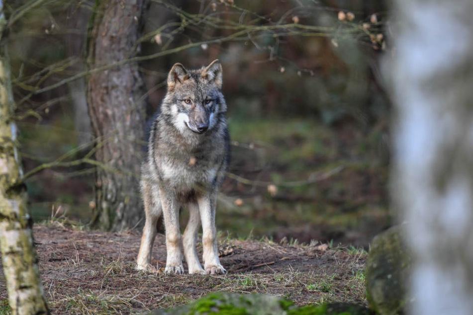 Der Wolf hat Hessen wohl den Rücken gekehrt. (Symbolfoto)