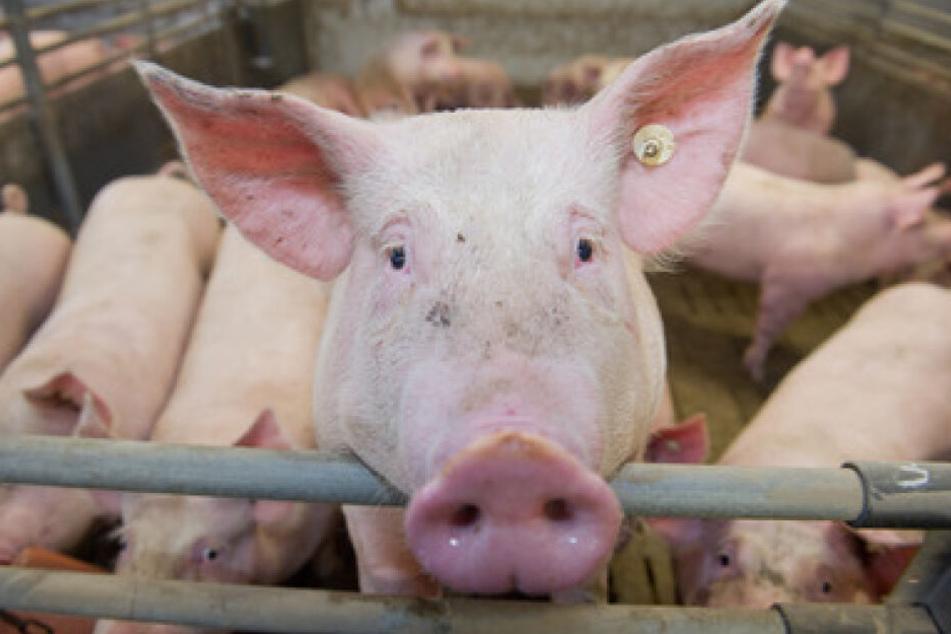Schweine stehen in einem Mastbetrieb in einem Stall. Greenpeace kritisiert Schweine-Haltung in Deutschland.