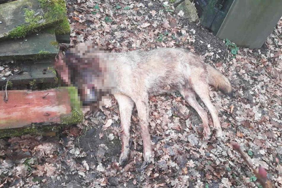 Ein Mann fand den toten Wolf.