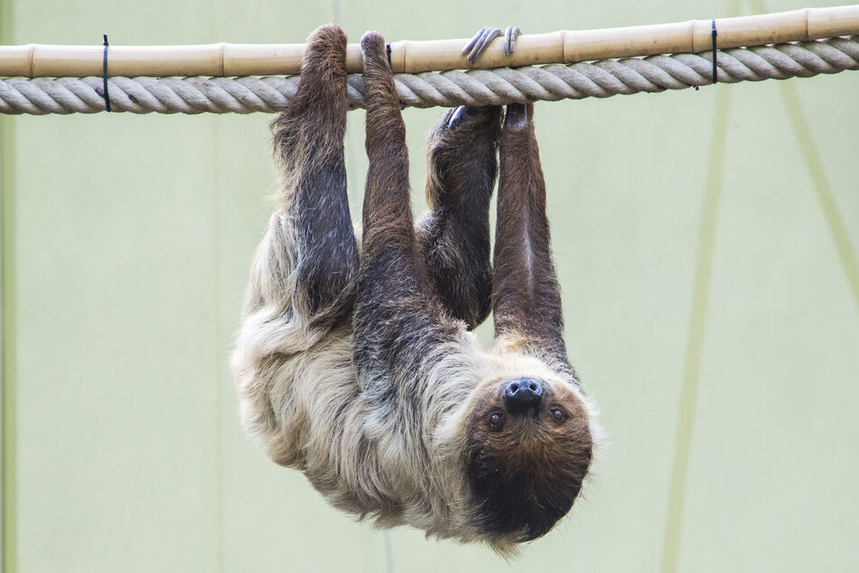 Faultier-Dame Marlies aus dem Dresdner Zoo wartet noch auf Nachwuchs.