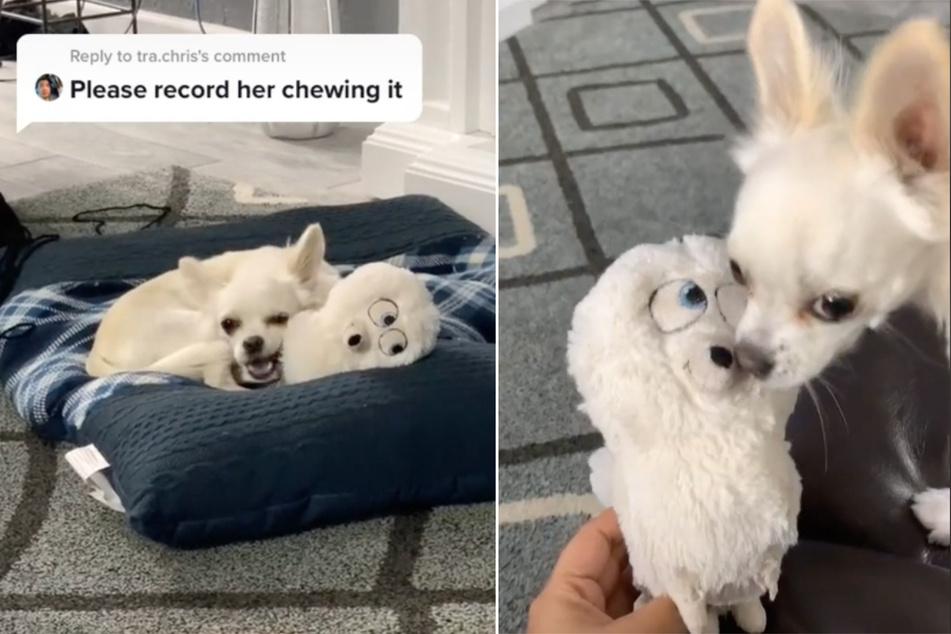 Hund beißt sein Spielzeug kaputt, der Grund dafür rührt zu Tränen