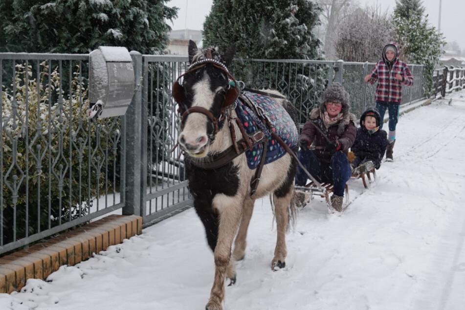 Angesichts der weißen Winterpracht wird Kutschen-Pony Moritz gleich mal vor den Schlitten gespannt.