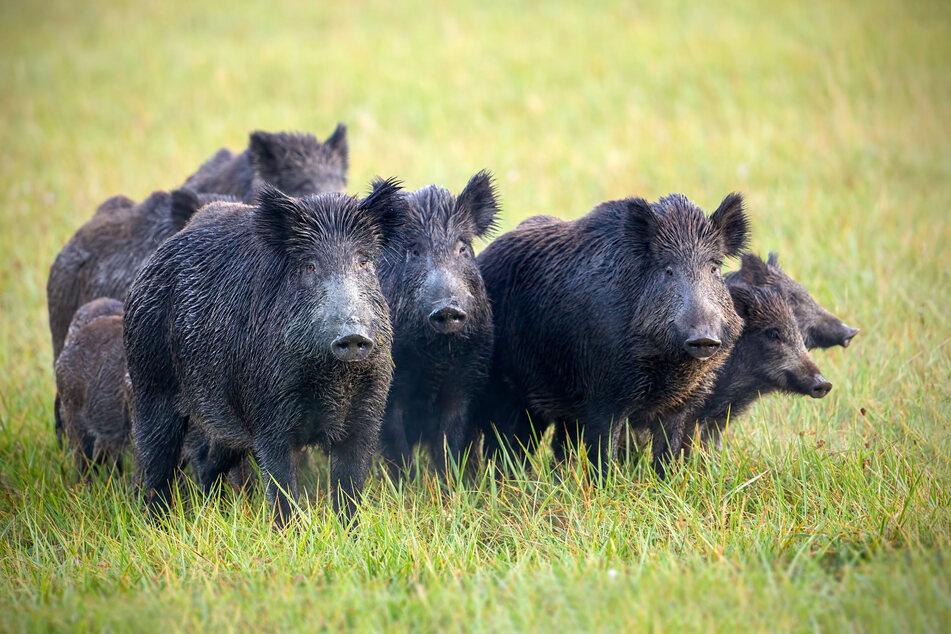 Nicht invasiv, aber neugierig: Auch Wildschweine sind in der Stadt heimisch.