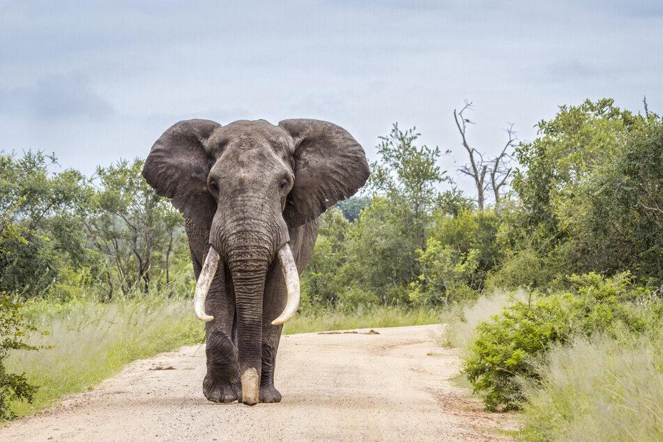 Wilderer nutzten die Corona-Krise schamlos aus und erschossen einen Elefanten. (Symbolbild)