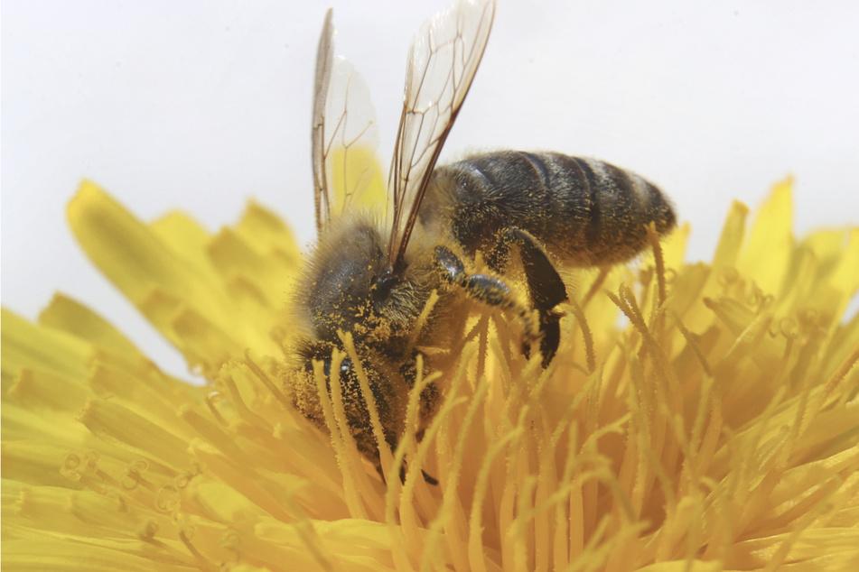 Klauen Imker bei eigenen Kollegen? Zehntausende Bienen am Bodensee gestohlen