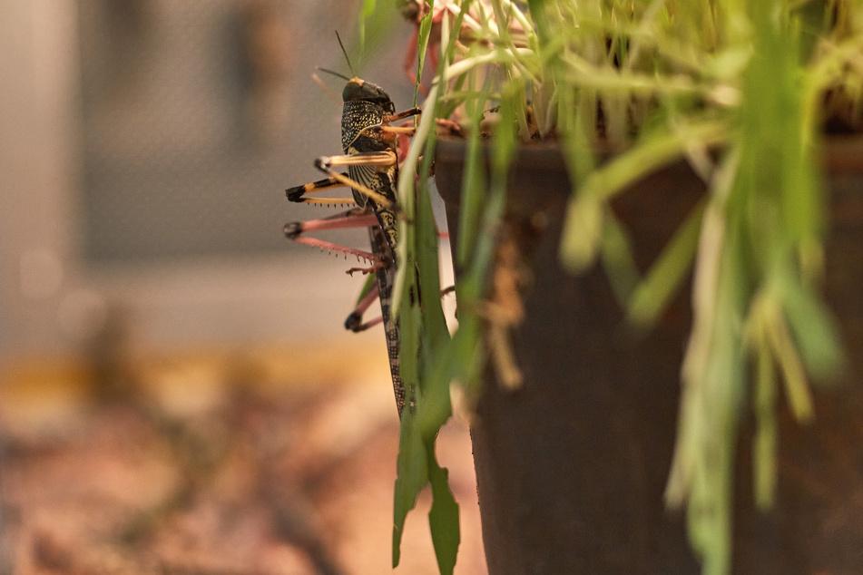 Insekten könnten bald auf vielen Speiseplänen stehen.