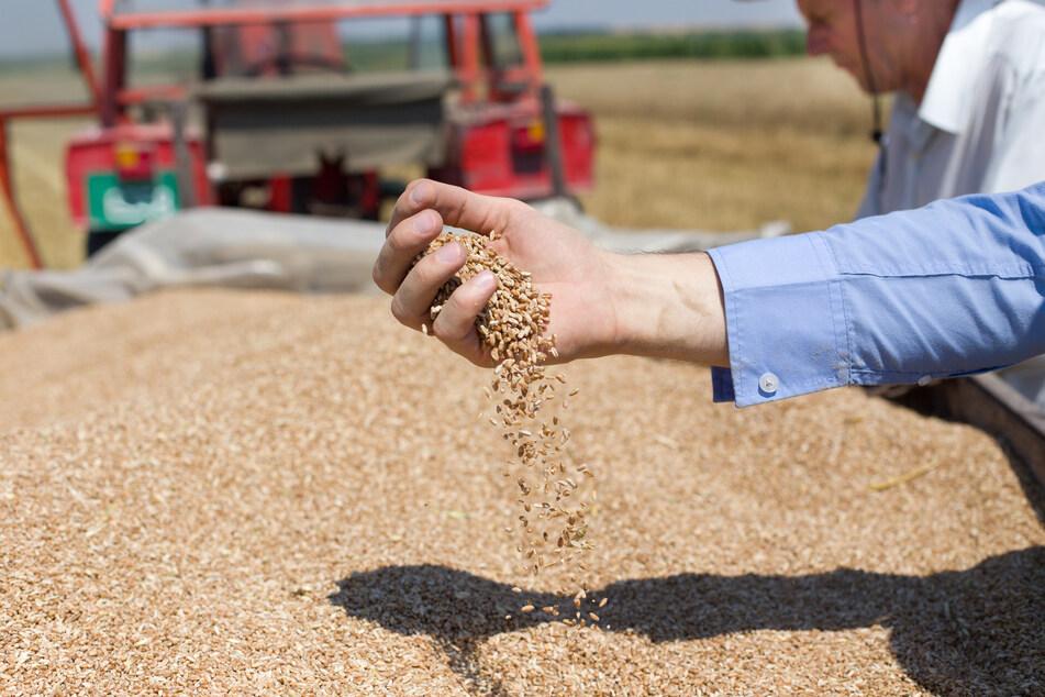 Bauern in Sorge: Getreideernte deutlich unter langjährigem Durchschnitt