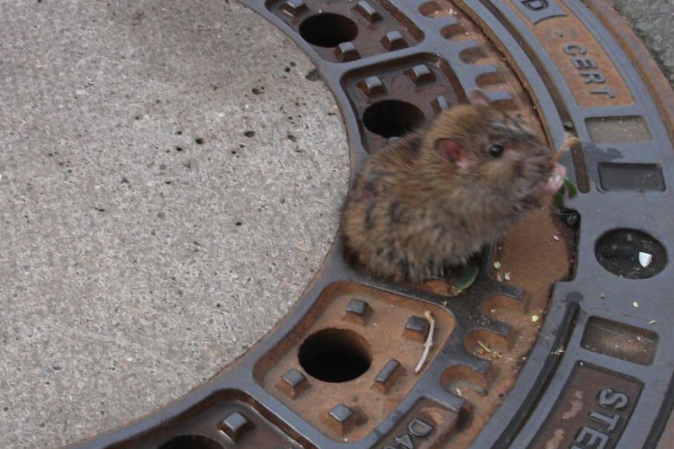 Fat Rat 2.0? Ratte steckt mit Hintern in Gullydeckel fest