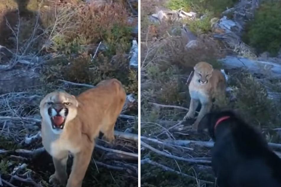 Bedrohlich zeigt der Puma seine Zähne. Der Labrador lässt sich davon nicht beeindrucken und bellt das Wildtier an (r).