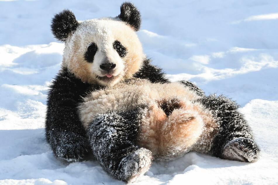 Ein Panda spielt im Schnee. Ab dem 15. Februar dürfen die Zoos, Tier- und Wildparks in Brandenburg ihre Außenanlagen wieder für Zuschauer öffnen.