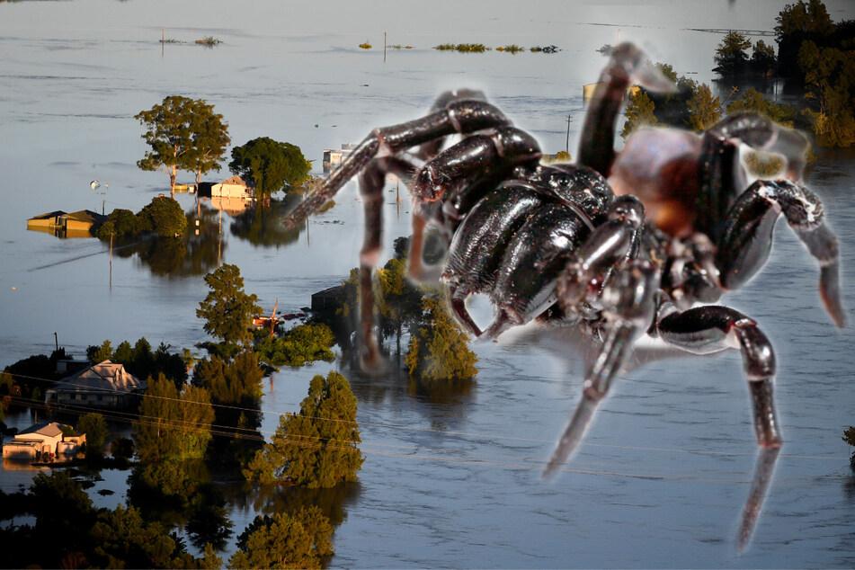 Plage befürchtet! Erst Hochwasser, jetzt Giftspinnen in den Häusern?