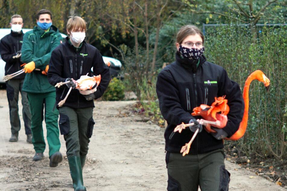 Zoo Dresden: Flamingos auf dem Weg ins Winterquartier!