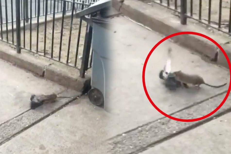 It seems like the rat is winning until a man intervenes.