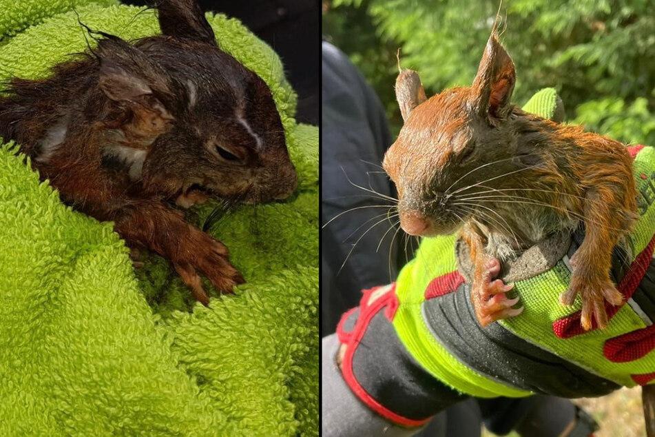 Mutter und Kind in Not: Klitschnasse Eichhörnchen brauchen dringend Hilfe