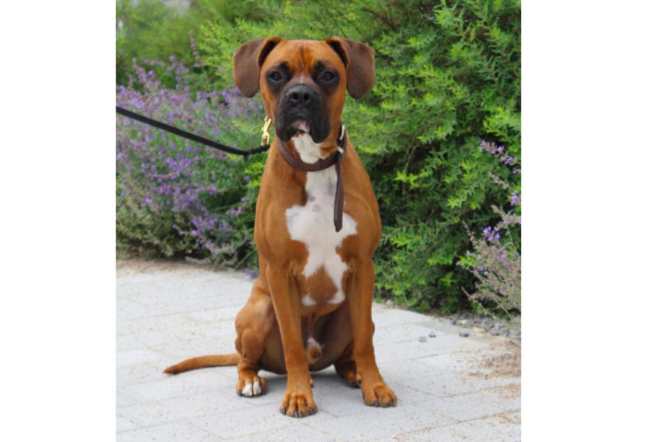 Boxer Rufus.