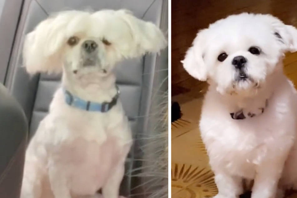 "TikTok pup gets ""the Sia special"" in hilarious grooming fail"