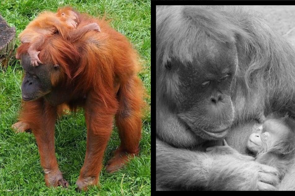 Nach Tod von Orang-Utan-Mädchen: PETA fordert Corona-Tests für Zoo-Mitarbeiter