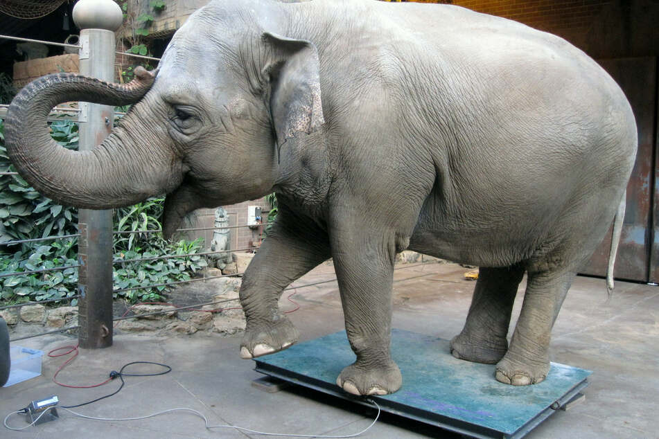 Muss Leipzig verlassen: Elefantenkuh Hoa wird mit Trinh in den Zoo Neunkirchen verlegt.