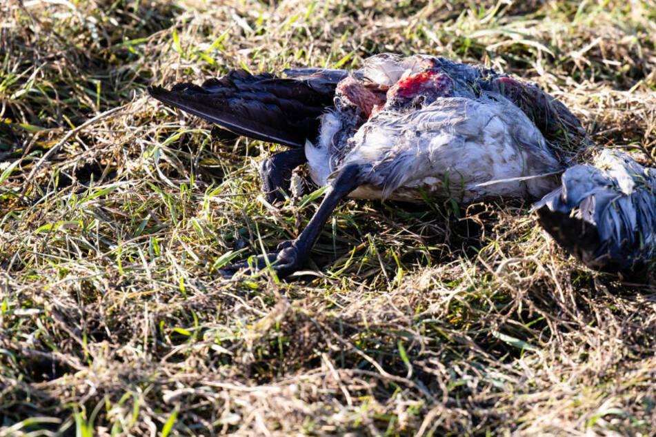 Vogelgrippe breitet sich aus: Zweiter Landkreis in Mecklenburg-Vorpommern betroffen
