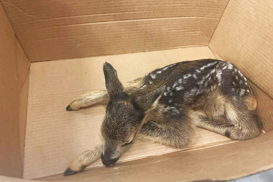 In einem kleinen Karton konnte das Bambi sicher transportiert werden.