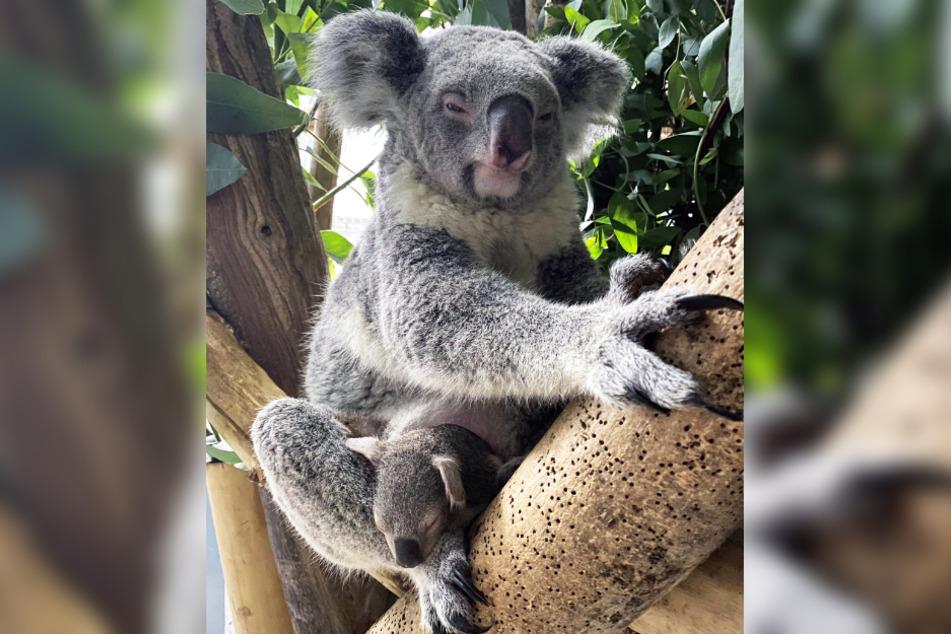 Das Koala-Baby traut sich zwar schon ein kleines Stück aus Mamas Beutel heraus...