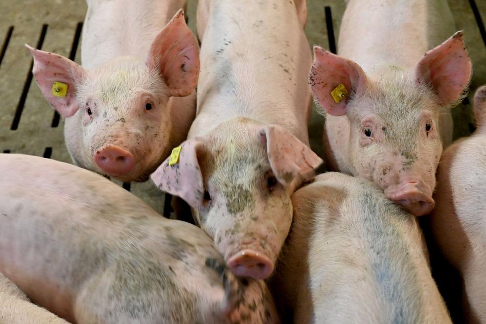 Schweine in einem Mastbetrieb.