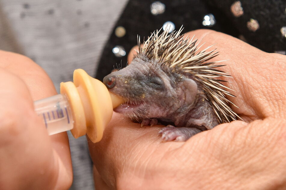 Aufwendige Handaufzucht: Dieses Igelbaby ist gerade mal zehn Tage alt, erhält eine Glukoselösung mit der Pipette.