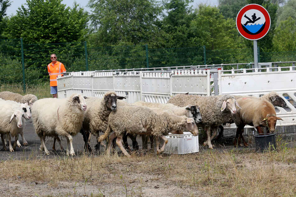 Was mäht denn da? Schaf-Alarm an der A40 - das steckt dahinter
