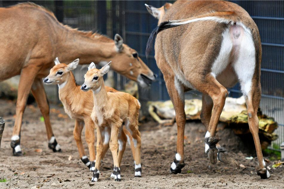 Antilopen auf Entdeckertour: Die Nilgau-Zwillinge erkunden schon die Welt.