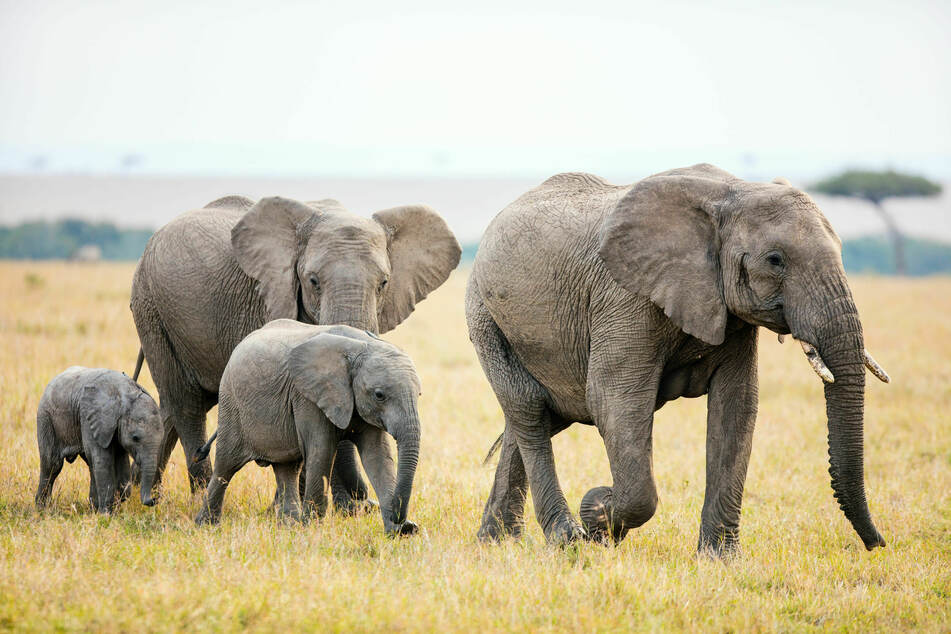 Toxic blue-green algae is most likely responsible for the deaths of more than 300 elephants.