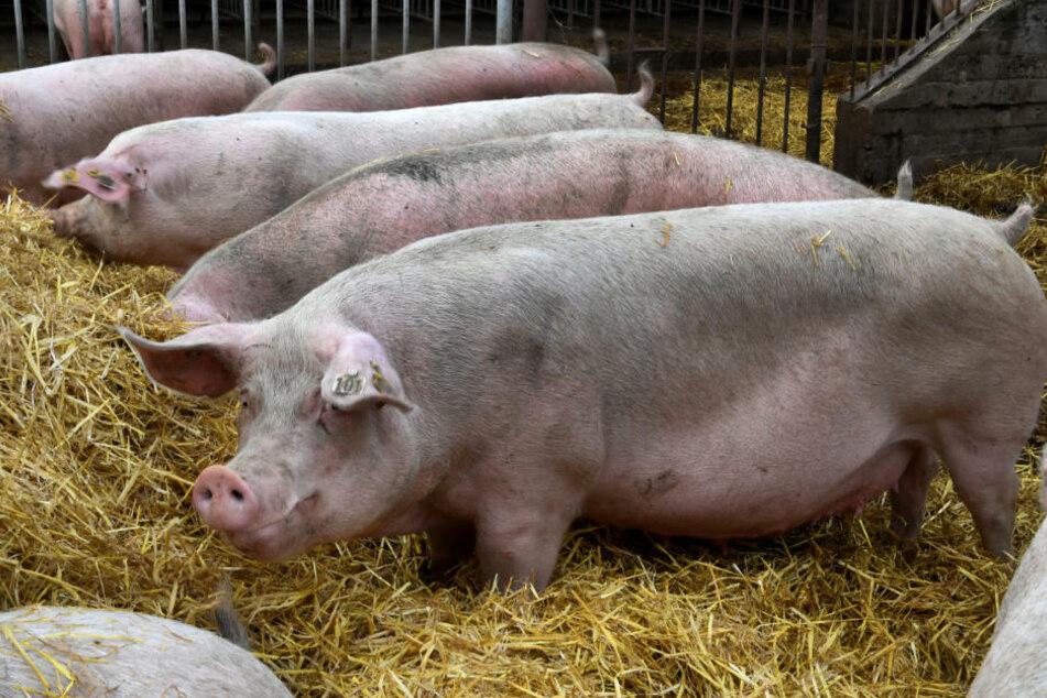 Mehrere Schweine stehen in einem Zuchtbetrieb im Stroh. Schweinebauern befürchten bei Schließung des chinesischen Marktes aufgrund von ASP, dass der inländische Preisdruck steigt. (Symbolfoto)