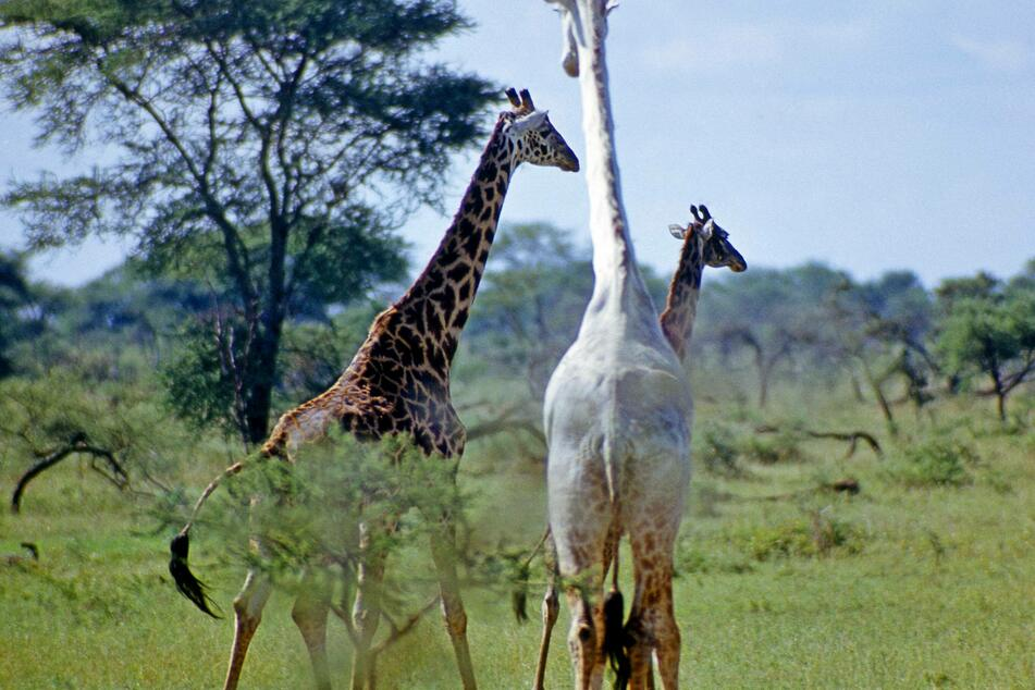 Due to the rare genetic defect leucism, the giraffe is white, which makes it all the more desirable for poachers.