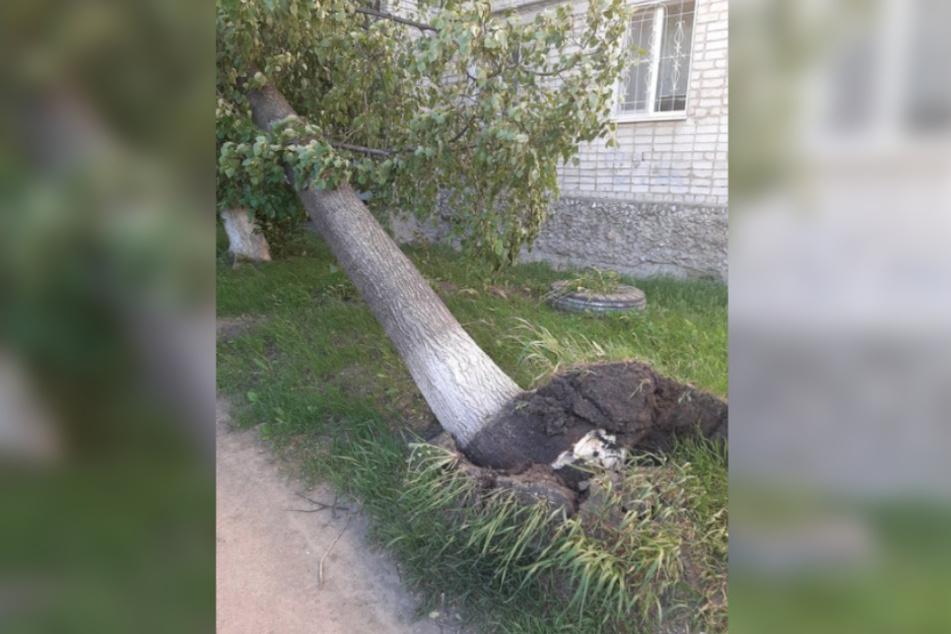 Ein umgestürzter Baum in Jekaterinburg.