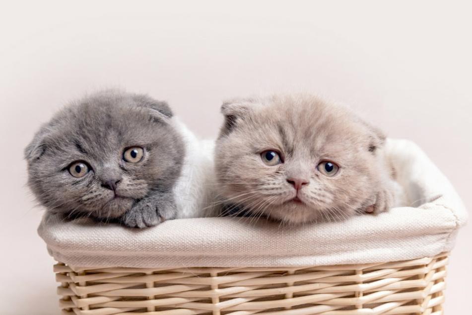 Die Angeklagte hatte vor Gericht betrügerische Geschäfte mit Katzen der Rasse Britisch Kurzhaar von September 2018 bis Juni 2019 zugegeben. (Symbolbild)