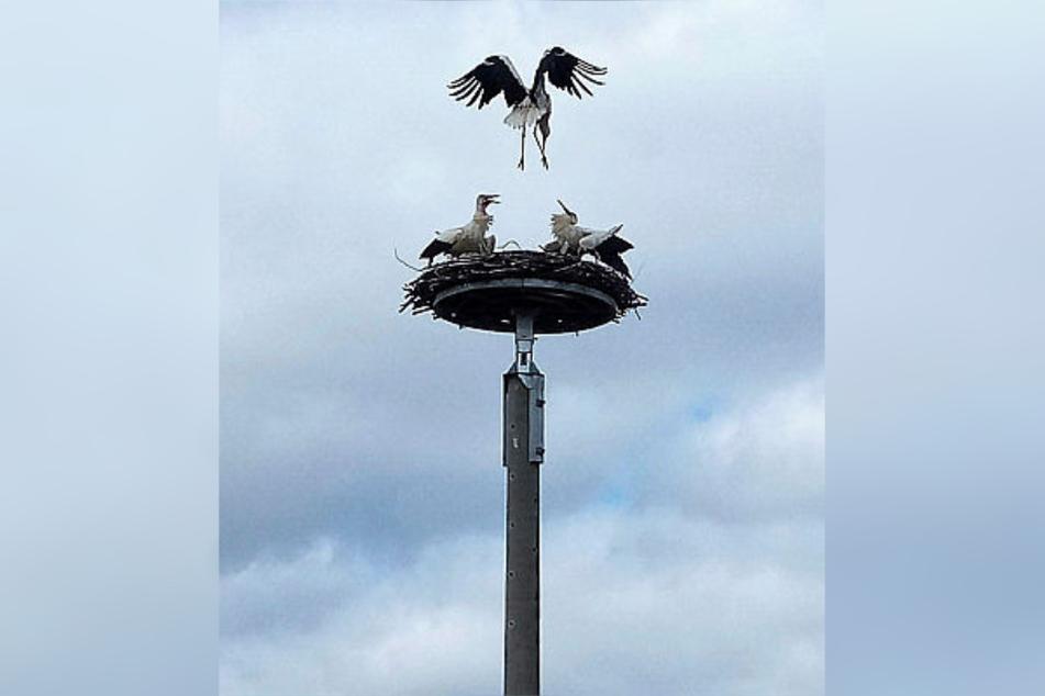 Im Landkreis Leipzig ist es zu einer fatalen Storchen-Attacke gekommen.