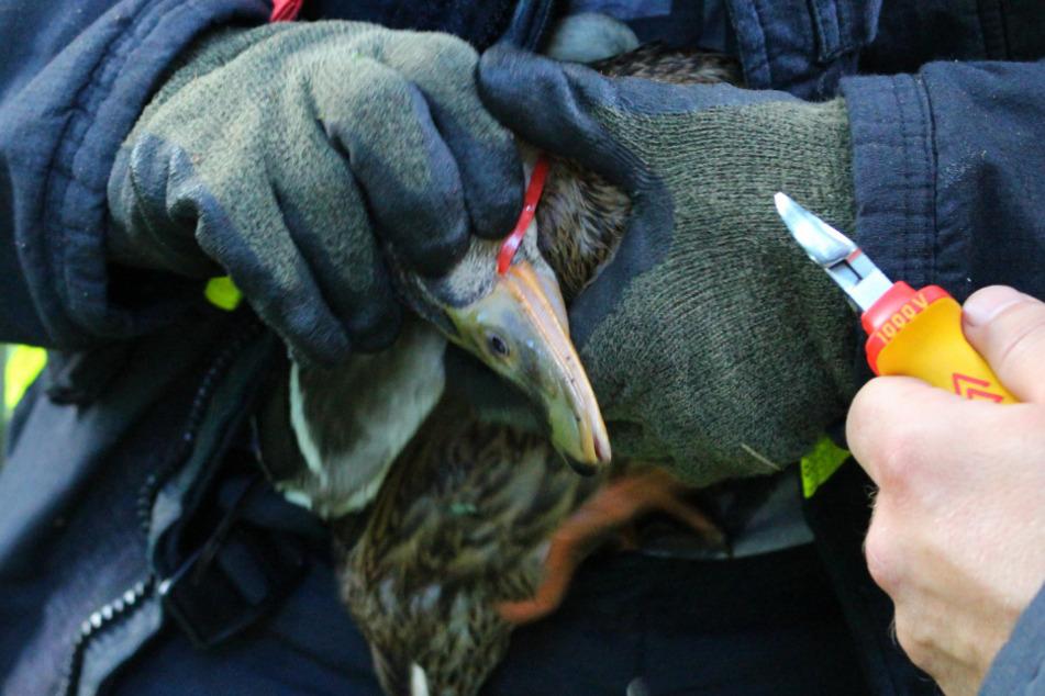Plastikmüll in Teich wird für Ente zur lebensgefährlichen Falle