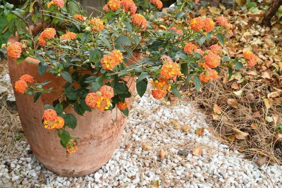 Kübelpflanzen können je nach Art draußen überwintern, benötigen jedoch etwas Vorbereitung.
