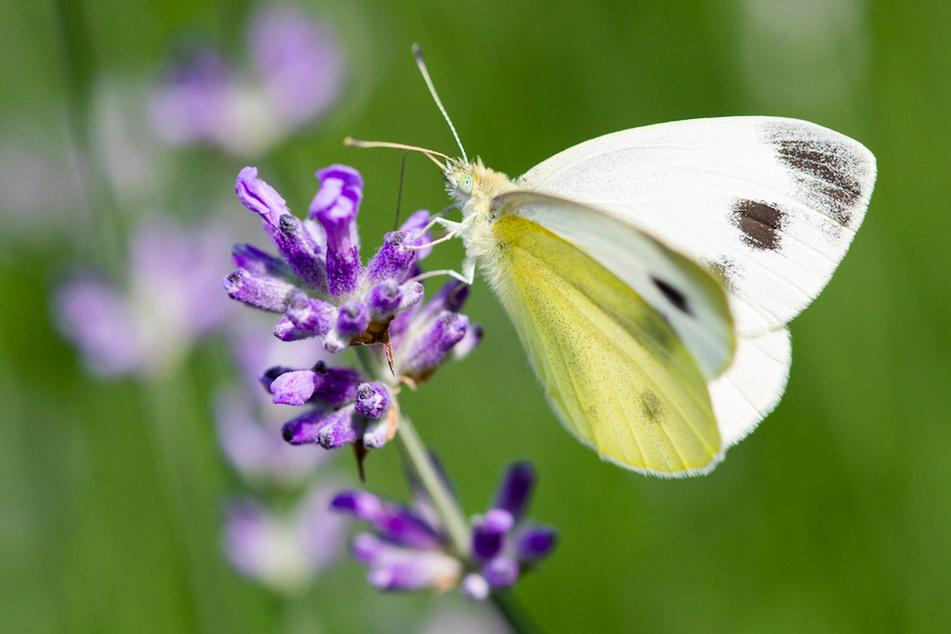 Ein Schmetterling aus der Familie der Weißlinge sitzt auf einer Lavendelblüte in der Sonne.