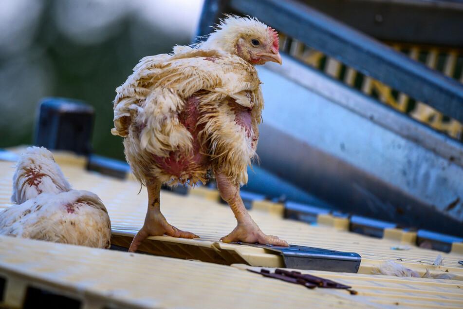 Geflügeltransporter kippt auf Landstraße um: Rund 6000 Hühner tot