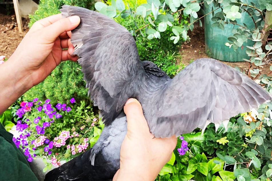 Tierhasser schneidet Vögeln die Flugfedern ab