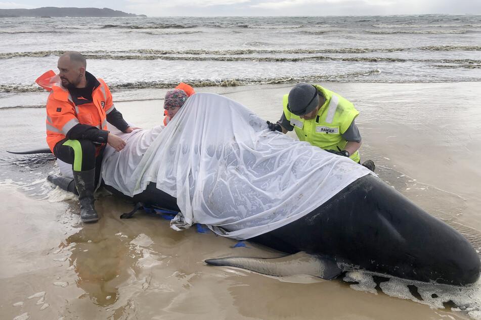 Australische Westküste: Rund 380 gestrandete Grindwale tot