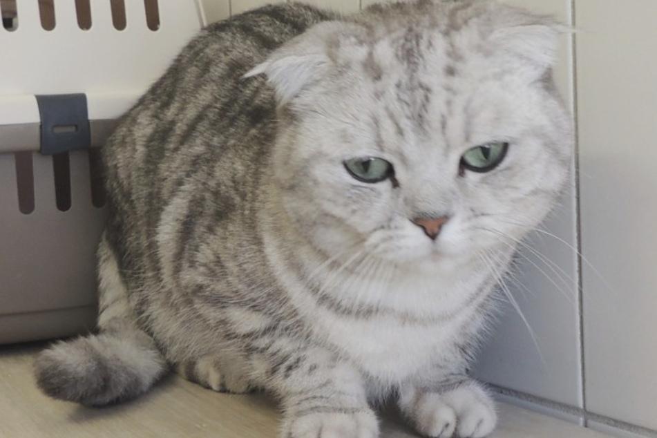 Kater Chiefs Besitzer wurden die Tierarztkosten zu hoch und er brachte ihn ins Tierheim.