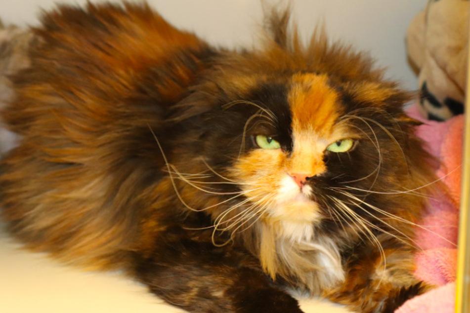 Perser-Katze Priscilla.