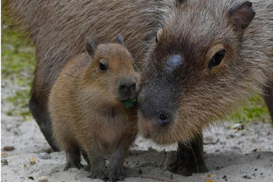 So süß! Wasserschwein-Fünflinge im Zoo Hannover zur Welt gekommen