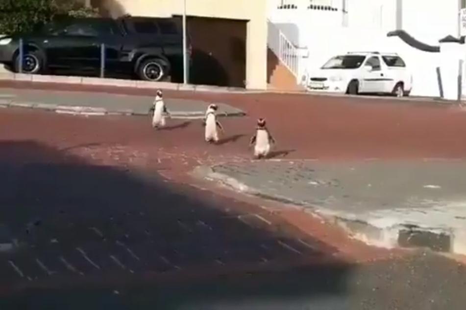 Einige Pinguine nutzten in der Nähe von Kapstadt die Corona-Isolation der Menschen für einen kleinen Spaziergang durch die Stadt.