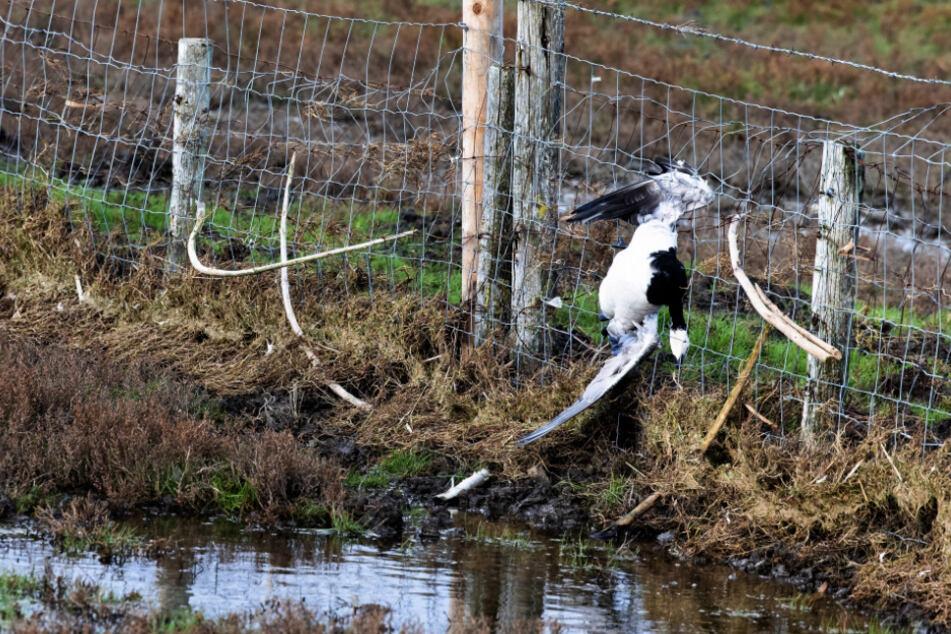 Geflügelpest sorgt für landesweite Stallpflicht im Norden!