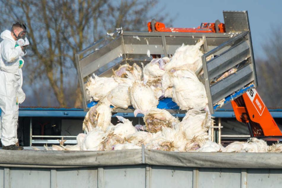Tote Puten werden vor einem Geflügelhof nach dem Ausbruch der Geflügelpest in einen Container gekippt.