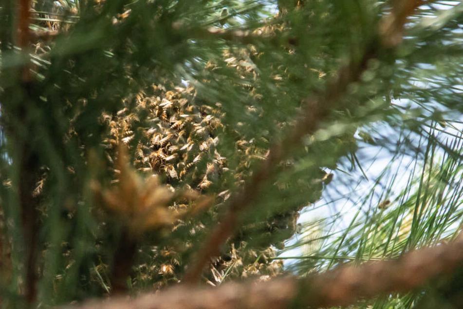 Hunderte Bienen hatten sich in einen Baum verzogen.